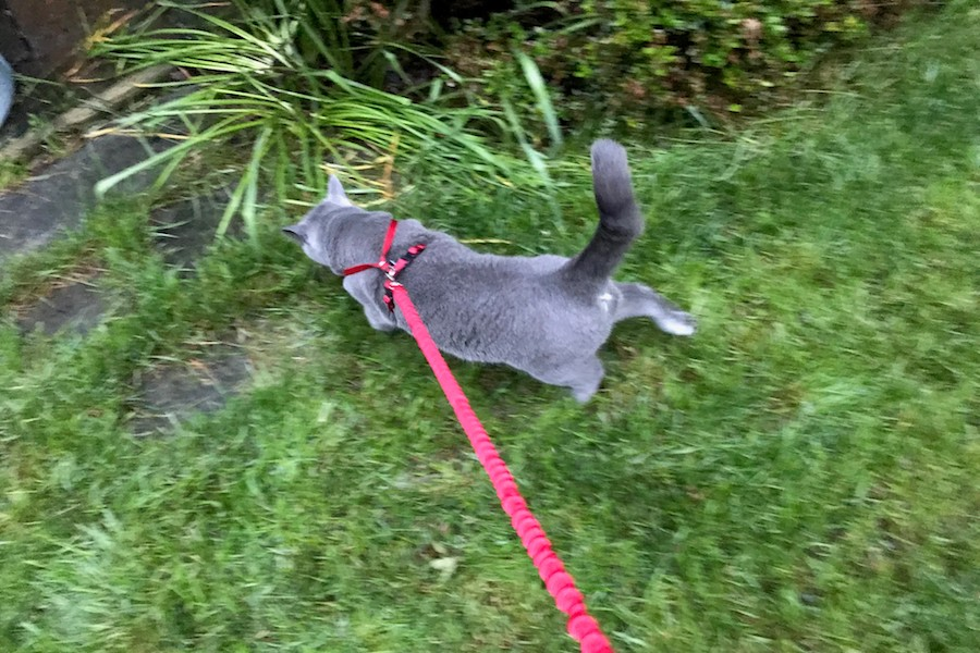 Cat on a leash on the trail
