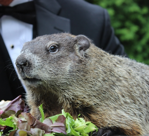Punxsutawney Phil | Courtesy of the Punxsutawney Groundhog Club Inc.