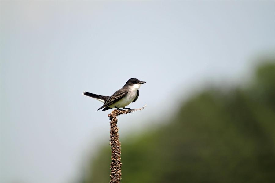 Eastern Kingbird along the Cowboy Trail west of Long Pine | Photo by TrailLink user kward1234561