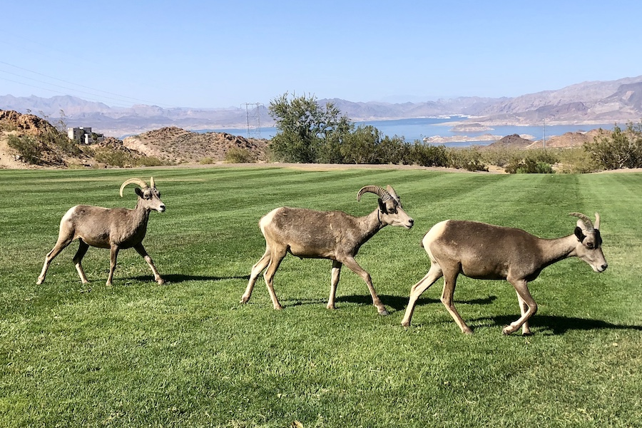 Big Horn Sheep at Hemenway Park in Boulder City, near the Historic Railroad Trail | Photo by Cindy Barks