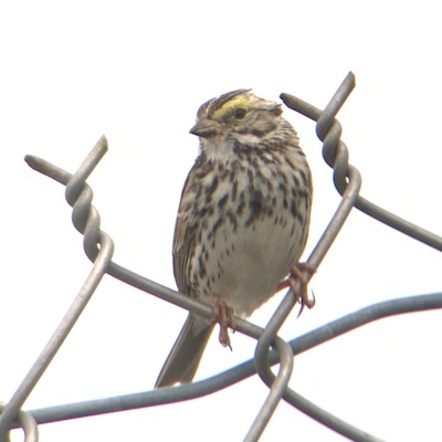 Savannah Sparrow | Photo by Amy Collins-Warfield